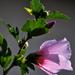 Mályvavirág