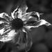 Elhull a virág