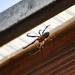 Átló Pók