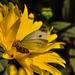 Sárga pillangó