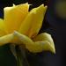Még nyílnak a rózsák