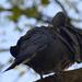 Örvös galambok 4.