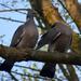 Örvös galambok szerelme 2.