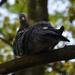 Örvös galambok 1.