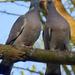 Örvös galambok szerelme 4.