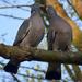 Örvös galambok szerelme 5.