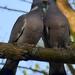 Örvös galambok szerelme 6.