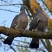 Örvös galambok szerelme 3.
