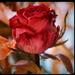 rózsás jövö