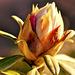 Gebüsch/Rododendron