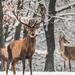 Szarvasok a téli tájban