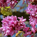 Júdásfa virága