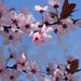 Vérszilvafa virágzásban