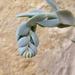 Echeveria runyonii 'Topsy turvy'