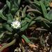 Delosperma bosseranum