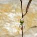 Haworthia viscosa
