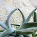 Cotyledon orbiculata 'Octopus'