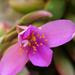 Anacampseros telephiastrum variegata