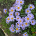 aster (lila marg.)