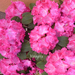 rododendron 003