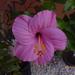 Barbi 4.sz magonc 1.virága