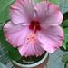 Casa Grande Lavender 20120923(001)