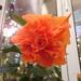 ohana dupla narancs