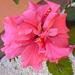 Classic rosa P1030080
