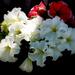 Album - Piros-fehér virágok