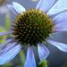 Album - Kék virágok