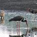 Fekete gólyák között