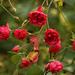 Késői rózsák
