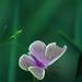 pink pillangó