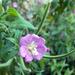 Lilaság