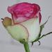 Rózsák rózsája