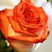 Rózsa01