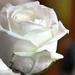 Rózsa02