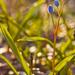 A tavasz hírnökei (Csillagvirág)