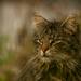 Elmélázva (Perzsa macska)