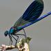 Sávos szitakötő (Calopteryx splendens)
