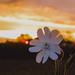 Fehér mécsvirág