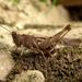 Rovarok (Insecta)