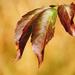 Őszi vadszőlő levél