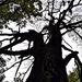 A kiszáradt tölgyfa.Harmadik felvonás :)