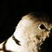 Balkáni gerle állat portré