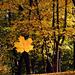 Lehulló őszi levél