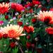 Krizantém virág