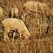 Legelésző juhok.Betakarítás :)