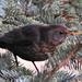Bujkáló feketerigó nőstény
