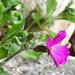 Árlevelű lángvirág (Phlox subulata)